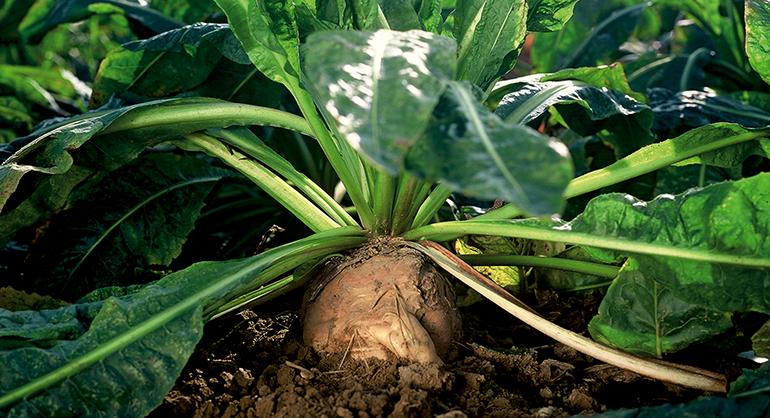 Inulina orgánica a partir de raíz de achicoria